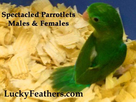 , Rare Parrotlets, Parrotlets for sale