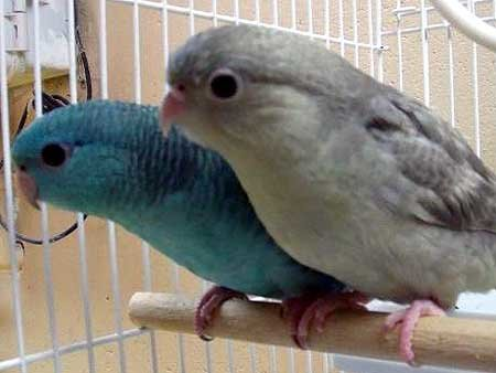 Lineolated Parakeet Care